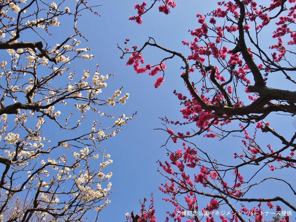 万博公園 梅の花